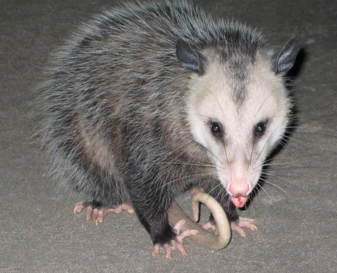 Our Dog Found This Possum In Our Backyard At 3am One Day And They Had A ...